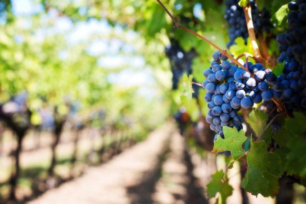 grapes vineyard vine purple grapes 39511